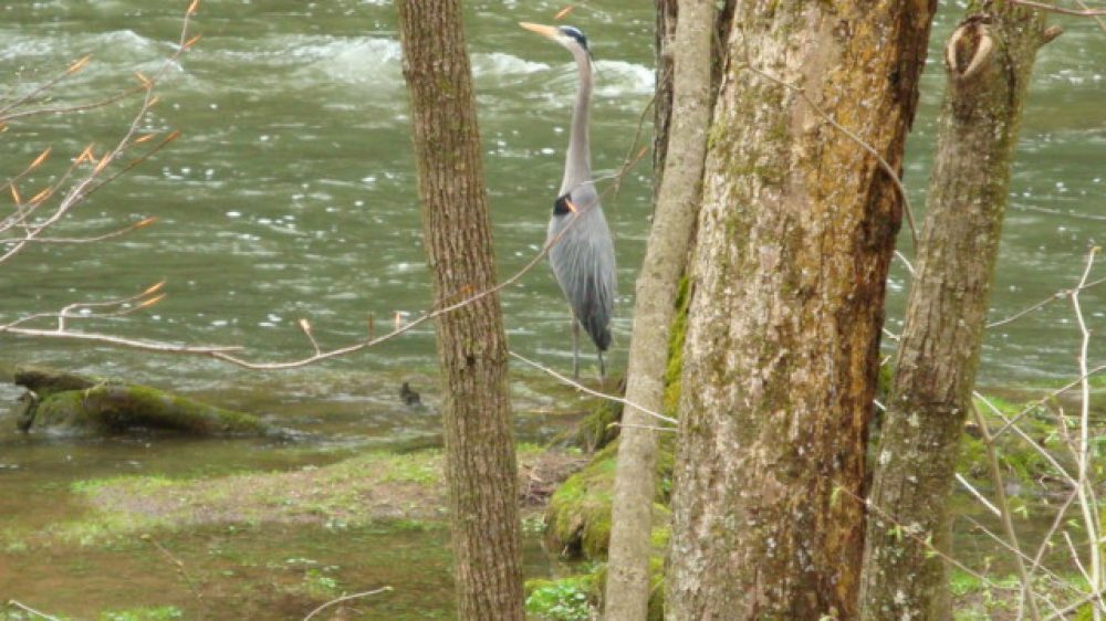 Blue Heron | BSA Troop 759 Mohican State Park