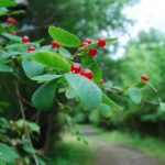 Beautiful berries but not for people - great for animals.